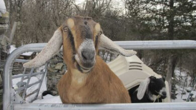 Town-elects-goat-and-dog-as-mayor